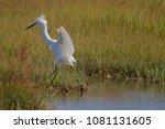 Snowy Egret Landing In The...