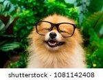 A Pomeranian Puppy Is Wearing...