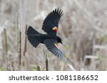 Red Winged Blackbird At...