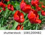 red tulips  flowers | Shutterstock . vector #1081200482