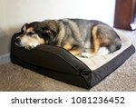 Stock photo an old german shepherd border collie mix breed canine is resting in a soft dog bed at home 1081236452