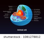 animal cell structure isolated... | Shutterstock .eps vector #1081278812