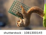 An Eastern Fox Squirrel In The...