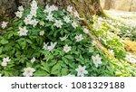 Blooming Wood Anemone