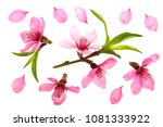 cherry blossom  sakura flowers... | Shutterstock . vector #1081333922