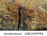 Small photo of Dragonfly blue-eyed darner Insect Close Up - Aeshna Multicolor