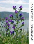 this is echium plantagineum ... | Shutterstock . vector #1081351772
