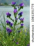 this is echium plantagineum ... | Shutterstock . vector #1081351775