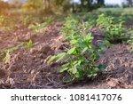 peanut plants in field.   Shutterstock . vector #1081417076
