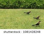 tropical birds run on a grass... | Shutterstock . vector #1081428248