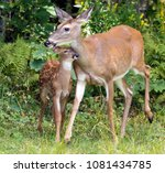 A Mother Deer And Her Fawn Kee...