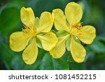 flower at garden botany bay ...   Shutterstock . vector #1081452215