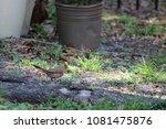 female northern cardinal... | Shutterstock . vector #1081475876