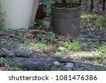 female northern cardinal... | Shutterstock . vector #1081476386