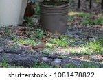 female northern cardinal... | Shutterstock . vector #1081478822