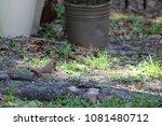 female northern cardinal... | Shutterstock . vector #1081480712