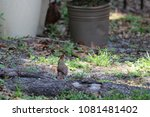 female northern cardinal... | Shutterstock . vector #1081481402