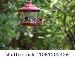 female northern cardinal... | Shutterstock . vector #1081505426