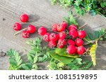 fruits of hawthorn. a thorny... | Shutterstock . vector #1081519895