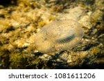 Marine Jellyfish Under Water O...