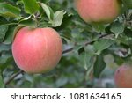 apple. apples average maturity. ... | Shutterstock . vector #1081634165