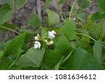 beans. phaseolus. garden. field.... | Shutterstock . vector #1081634612