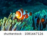 colorful clownfish hiding in... | Shutterstock . vector #1081667126