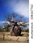 Small photo of This is the prison tree, Adansonia gregorii, in Derby, Western australia.