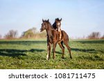 arabian foals playing on the...   Shutterstock . vector #1081711475