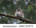 eurasian pygmy owl swabian jura ... | Shutterstock . vector #1081719575