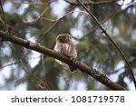 eurasian pygmy owl swabian jura ... | Shutterstock . vector #1081719578