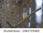 eurasian pygmy owl swabian jura ... | Shutterstock . vector #1081719602