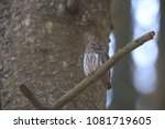 eurasian pygmy owl swabian jura ... | Shutterstock . vector #1081719605