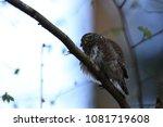 eurasian pygmy owl swabian jura ... | Shutterstock . vector #1081719608