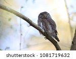 eurasian pygmy owl swabian jura ... | Shutterstock . vector #1081719632