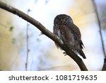 eurasian pygmy owl swabian jura ... | Shutterstock . vector #1081719635