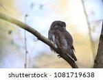 eurasian pygmy owl swabian jura ... | Shutterstock . vector #1081719638