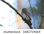 eurasian pygmy owl swabian jura ... | Shutterstock . vector #1081719665