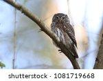 eurasian pygmy owl swabian jura ... | Shutterstock . vector #1081719668