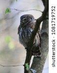eurasian pygmy owl swabian jura ... | Shutterstock . vector #1081719752