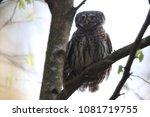 eurasian pygmy owl swabian jura ... | Shutterstock . vector #1081719755