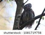 eurasian pygmy owl swabian jura ... | Shutterstock . vector #1081719758