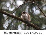 eurasian pygmy owl swabian jura ... | Shutterstock . vector #1081719782