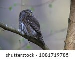 eurasian pygmy owl swabian jura ... | Shutterstock . vector #1081719785