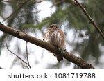 eurasian pygmy owl swabian jura ... | Shutterstock . vector #1081719788