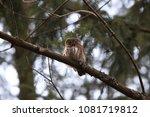 eurasian pygmy owl swabian jura ... | Shutterstock . vector #1081719812