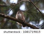 eurasian pygmy owl swabian jura ... | Shutterstock . vector #1081719815