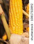 beautiful yellow cob of ripe... | Shutterstock . vector #1081732892
