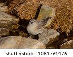 tibetan snowfinch  ... | Shutterstock . vector #1081761476