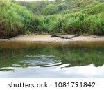 Australian Saltwater Crocodile...